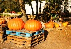 在秋天市场上的两个巨大的南瓜 免版税库存照片