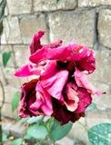 在秋天庭院侧视图的干燥桃红色橙色玫瑰 免版税库存照片