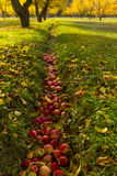 在秋天收获期间的苹果树 免版税库存照片