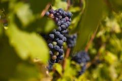 在秋天收获的葡萄 免版税库存照片