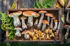 在秋天收集的新鲜的狂放的蘑菇 免版税库存图片