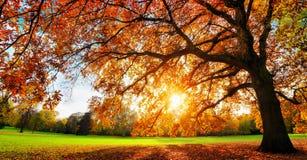 在秋天日落的庄严橡树 库存照片