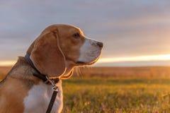 在秋天日落的明亮的光芒的小猎犬狗 库存图片