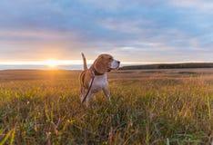 在秋天日落的明亮的光芒的小猎犬狗 库存照片