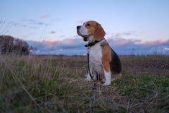 在秋天日落的明亮的光芒的小猎犬狗 免版税库存图片