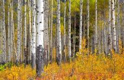 在秋天时间的亚斯本树 图库摄影