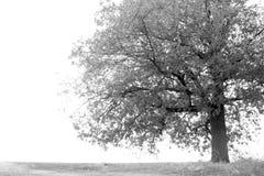 在秋天时间的大橡木 免版税库存图片