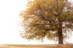 在秋天时间的大橡木 免版税图库摄影