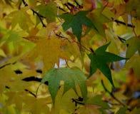 在秋天时间的黄绿色枫叶 库存图片