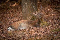 在秋天时间的休闲鹿,德国 图库摄影