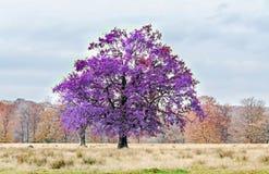 在秋天时间的淡紫色紫罗兰色树,室外公园 免版税库存照片