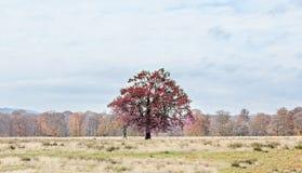 在秋天时间的红色树,室外公园,橙黄叶子 库存图片