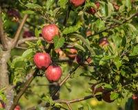 在秋天期间的自然红色苹果 免版税图库摄影