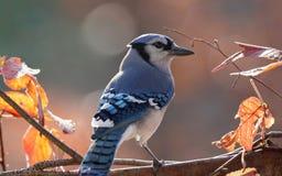 在秋天期间的蓝色尖嘴鸟 图库摄影