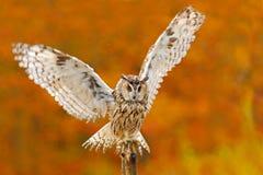 在秋天期间,在橙色秋叶森林长耳朵猫头鹰的猫头鹰与橙色橡木离开 鸟在自然栖所 秋天橙色f 免版税库存图片