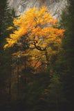 在秋天期间,桔子留下结构树详细资料 图库摄影