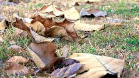 在秋天期间的下落的叶子烘干褐色 库存图片