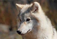 在秋天期间的北极狼 库存照片