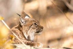 在秋天期间的天猫座画象 免版税库存照片