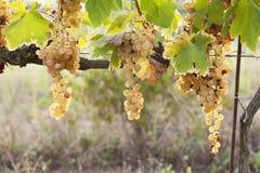 在秋天期间的葡萄园在托斯卡纳 免版税库存照片