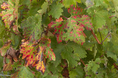 在秋天期间的葡萄园在托斯卡纳 免版税图库摄影