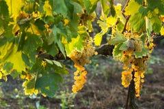 在秋天期间的葡萄园在托斯卡纳 库存照片