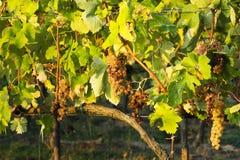 在秋天期间的葡萄园在托斯卡纳 库存图片