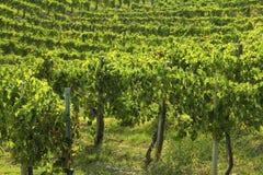 在秋天期间的葡萄园在托斯卡纳 图库摄影