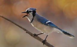 在秋天期间的蓝色尖嘴鸟 免版税库存照片