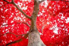 在秋天期间的鸡爪枫在庭院里 库存图片