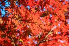 在秋天期间,关闭红色叶子 库存图片
