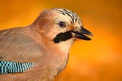 在秋天期间,好鸟欧亚混血人杰伊, Garrulus glandarius画象,与橙色跌倒叶子和早晨太阳,在的动物 免版税库存图片