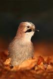 在秋天期间,好鸟欧亚混血人杰伊, Garrulus glandarius画象,与橙色跌倒叶子和早晨太阳 免版税图库摄影
