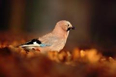 在秋天期间,欧亚混血人杰伊, Garrulus glandarius,好的鸟画象与橙色的跌倒叶子和早晨太阳 免版税库存照片
