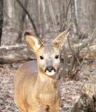在秋天木头的年轻獐鹿 库存照片
