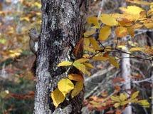 在秋天树的灰鼠 免版税库存照片