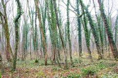 在秋天树的绿色常春藤 免版税库存照片