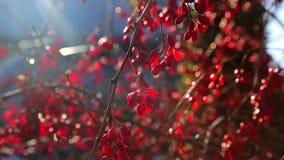 在秋天树,红色治疗莓果垂悬 股票视频
