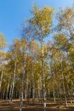 在秋天桦树 免版税库存照片