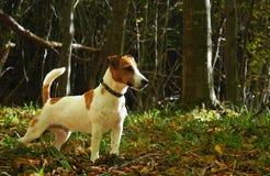 在秋天森林光的杰克罗素狗 免版税库存图片