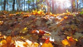 在秋天森林慢动作的下落的黄色叶子 股票视频