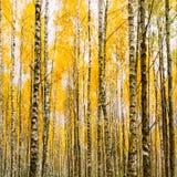在秋天森林森林黄色叶子的桦树 俄国前面 免版税库存照片