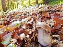 在秋天森林的背景的白色蘑菇特写镜头 库存照片