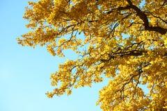 在秋天森林红色,橙色,黄色,绿色和棕色秋叶的美丽的五颜六色的叶子 橡木叶子 图库摄影