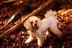 在秋天森林美丽的秋叶的白色长卷毛狗 库存照片
