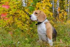 在秋天森林背景的小猎犬狗  库存照片