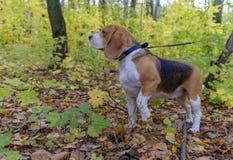 在秋天森林背景的小猎犬狗  免版税库存照片