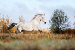 在秋天森林自然的灰色马portait,看 免版税库存图片