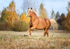 在秋天森林自然的灰色马portait,看 免版税库存照片