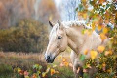 在秋天森林自然的灰色马portait,看 免版税图库摄影